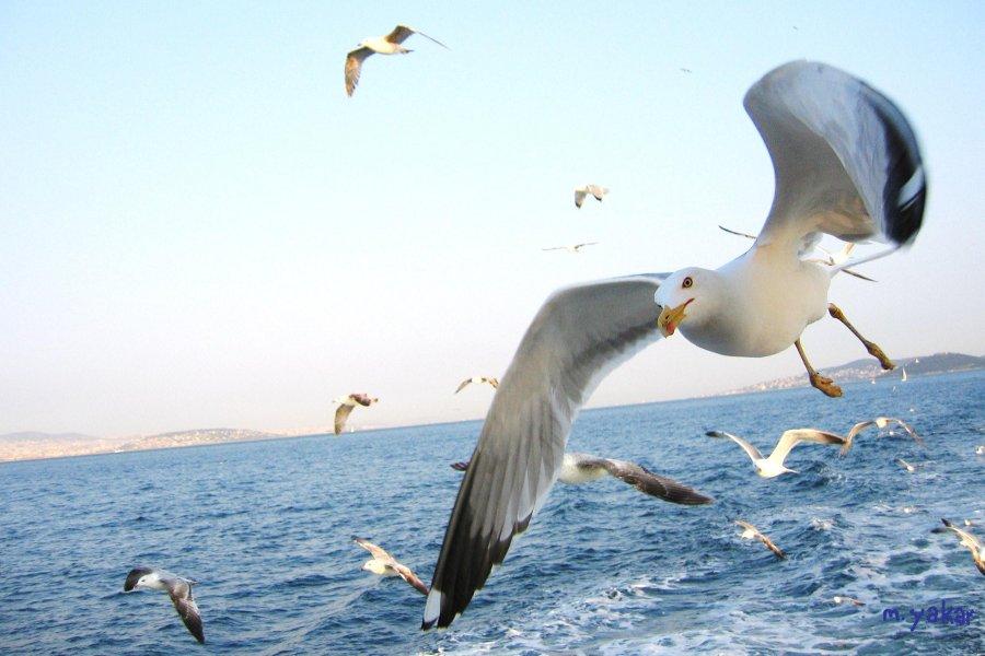 Adalar`da Martılar - Murat Yakar