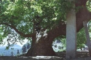 Anıt Çınarlar (Çatalca Subaşı Tabiat Anıtı)