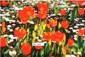 Ayla Akyol - İlkbahar Çiçekleri