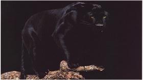 Elmas Deniz -Siyah Panteri Görebilmek