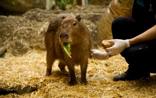 Anne-Kız Kapibaraların En Büyük Zevki Yüzmek ve Brokoli Yemek!